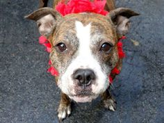 SAFE - 02/01/15 by Reefuge Animal Rescue Manhattan Center  BONNIE - A1020187 *** AVERAGE HOME ***  FEMALE, BR BRINDLE / WHITE, PIT BULL MIX, 5 yrs STRAY - STRAY WAIT, NO HOLD Reason STRAY Intake condition PREGNANT Intake Date 11/09/2014, From NY 11213, DueOut Date 11/12/2014 https://www.facebook.com/photo.php?fbid=911078588905021
