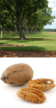 Pawnee Pecans - I have this tree.  The pecans are supposed to be the biggest, sweetest pecans with the thinnest shells.  The tree also does not grow to be as tall as most pecan trees.