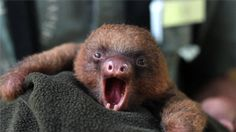 Why are sloths so freaking cute !