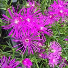 Ice Plant Table Mountain Flower Seeds (Delosperma Cooperi) 25+Seeds