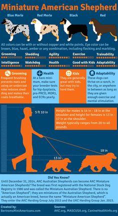 Miniature American Shepherd infographic created by Bertrom's Miniature American Shepherds