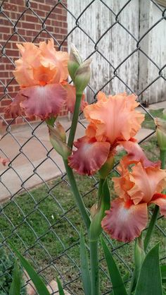 'Art Center'--Tall bearded iris