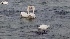 Лебеди / Swans