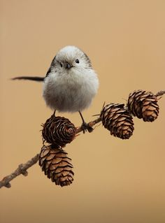 Long tailed tit(Photo by hencz judit)