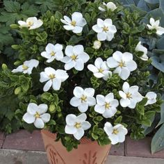Finally... the most Cold-Hardy Gardenia - A dwarf version of the larger Gardenia, Kleim's Hardy Gardenias are beautiful inside and outside the home. Easy to care for, they are excellent for novice and experienced gardeners alike.  These plants only grow 2-3 feet tall, so they fit perfectly anywhere in your landscape... even tight...