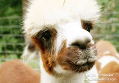 Whispering Pines Alpaca #Farm in Nashville, #Indiana -- Gentle, wonderful animals. Get up close and feed them!