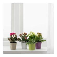 IKEA - KALANCHOE, Plante avec vase, Choisissez pour vos plantes décoratives des cache-pots qui correspondent au style de votre intérieur.
