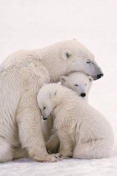 Osos polares y crías