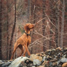 Throwback to the colors of last autumn and muscles from a whole summer of hiking! Two Dogs, I Love Dogs, Weimaraner, Vizsla Dog, Hungarian Vizsla, Hunting Dogs, Working Dogs, Rescue Dogs, Animal Photography