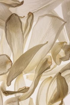 Delicate Nature - white tulip petals with elegant curls & fine surface textures; organic inspirations
