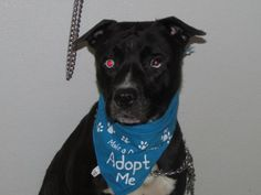 Sinatra - located at Richland County Dog Warden in Mansfield, Ohio - Young Male Pit Bull - I came to the shelter as a stray on 11/2/15. I have very unique eyes. One of my eyes is all blue and the other eye is half blue and half brown. I tested well with female dogs but I was dominant with male dogs. Come on in and check me out in person. You will love how gorgeous my eyes are.