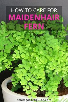 Maidenhair Fern Care – Learn how to grow this beautiful indoor fern – House Plants Fern Care Indoor, Indoor Ferns, Indoor Plants, Indoor Flowers, Air Plants, Foxtail Fern, Maidenhair Fern, Container Plants, Container Gardening