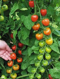 Clovers Garden Tomatoberry Tomato Plant– Two Live Plants – Not Seeds –Each Tall- in Pots Vegetable Garden Planters, Tomato Garden, Tomato Plants, Planting Vegetables, Growing Vegetables, Fruits And Vegetables, Veggies, Garden Art, Garden Tools