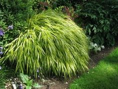 Golden Japanese forest grass thrives in full sun and adds a bright spot to any garden. #gardening