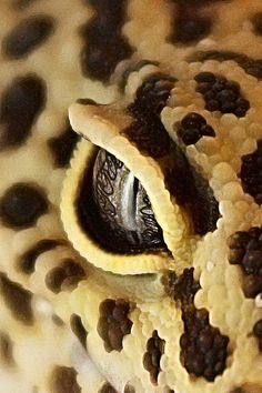 Gecko Eye (by www. Eye Pictures, Like Animals, A Whole New World, Reptiles And Amphibians, What A Wonderful World, Beautiful Eyes, Wonders Of The World, Animal Print Rug, Snake