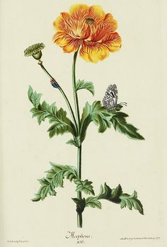 stilllifequickheart:    Christoph Jacob Trew and Georg Ehret  Morpheus Poppy  18th century