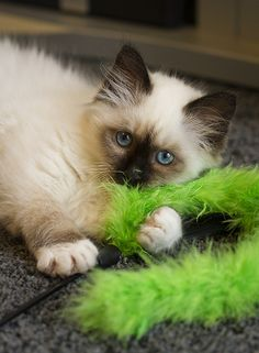 """Wait- I don't drink. But if I did, I'd want me some Cognac. And keep 'em comin,' bartender. """"This is Cognac, my Seal Point Birman Kitteh who was a Xmas present to myse…"""
