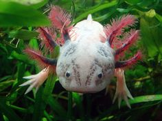 These cool looking creatures called axolotls are one of nature's best little regeneraters! #regenerate #brainneurons