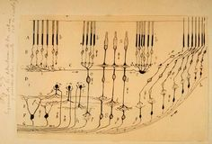 Retina Ramón y Cajal