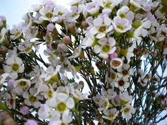 White waxflower closeup - Available July-Nov. Great filler flower, or use en masse for stunning wedding bouquets and reception flowers