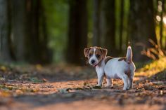 Jack Russell puppy A Jack Russell Terrier puppy walk in the forst Cute Puppies, Cute Dogs, Dogs And Puppies, Maltese Puppies, Chihuahua Dogs, Doggies, Terrier Puppies, Bull Terrier Dog, Terrier Mix