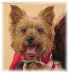 ELI HAS BEEN ADOPTED! Eli is an adoptable Yorkshire Terrier Yorkie Dog in Palm City, FL. If you are interested in any of our yorkies, please go to our wesbite at WWW.FLORIDAYORKIERESCUE.COM and fill out an online adoption ...