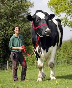 Chilli, a Friesian steer, is as big as a small elephant, and he's super gentle.  Chilli stands at 6ft 6ins and weighs well over a ton. Despite his grand stature, Chilli only grazes on grass during the day and enjoys the occasional sweet as a treat. Click through for more information on Chili! http://www.today.com/id/24611860/ns/today-today_pets/t/heres-beef-chilli-englands-colossal-cow/#.Vaa8xflVhBc