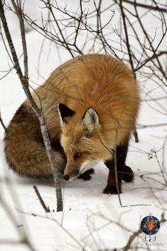Fox, Winter, Beautiful, Winter Time, Foxes, Winter Fashion