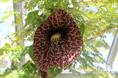 Giant Dutchman's Pipe Vine Plant - Smells Like Rotting Meat - DO NOT BUY