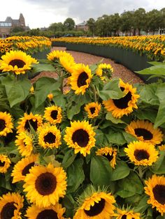 Would love to planet some of these in memory of my mother-inlaw. She loved sunflowers. Happy Flowers, Wild Flowers, Beautiful Flowers, Sunflower Garden, Sunflower Fields, Sunflowers And Daisies, Yellow Flowers, Growing Sunflowers, Sunflower Pictures