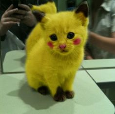 Pikachu Cat ! I hope some kid doesn't try to stuff him in a Pokemon ball.....
