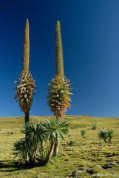 Simien Mountains National Park, Ethiopia (2006) ~ UNESCO World Heritage Site.  Photo: witoldosko, via Flickr Addis Abeba, Horn Of Africa, Unique Trees, Unusual Plants, Flora, Road Trip, African Countries, World Heritage Sites, Amazing Nature