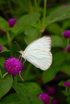 White butterflies always show up and signal a karmic event in my life, no matter the season.