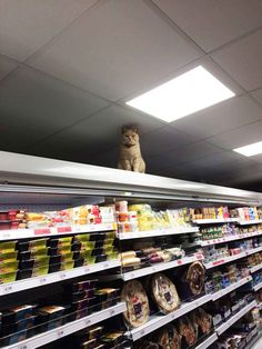 There's a ginger cat named Olly that frequents a London supermarket and refuses to leave. Security has removed him several times, but every day he continues to saunter in. sit on the shelf, and quietly judge your shopping habits.