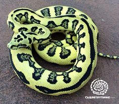 Stunning carpet python Spiders And Snakes, Cool Snakes, Snake Painting, Burmese Python, Pet Snake, Beautiful Snakes, Vertebrates, Crocodiles, Reptiles And Amphibians