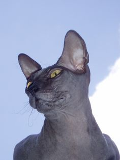 Donskoy or Don Sphynx Cat Breeds #catbreed - See more at Catsincare.com!