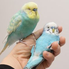 Budgies Parrot, Budgie Parakeet, Parakeets, Funny Birds, Cute Birds, Pretty Birds, Animals And Pets, Baby Animals, Funny Animals