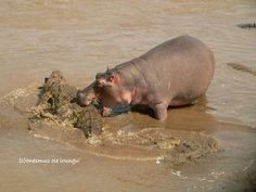 Funny Wildlife, Blimey, this is a first - A hippo bites a croc...