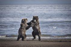 National Geographic Your Shot Alaskan Brown Bear, National Geographic Photos, Your Shot, Amazing Photography, Animals, Animales, Animaux, Animal, Animais