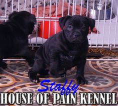 staffy www.houseofpainkennel.com