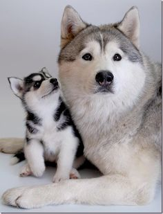 huskie mother...