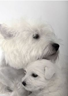 A mothers love...Westies