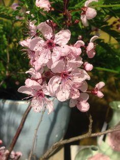 Blüten, rosé, Kirsche