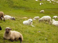 Great Pyrenees dog keeping watch over his flock.