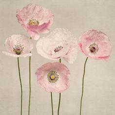 Fine art flower photography print of sweet pink & white shirley poppies by Allison Trentelman.