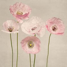 Pink and white shirley poppies by Allison Trentelman