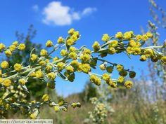 """Poznejte tuto rostlinu, která vás zbaví nádorových buněk již do šestnácti hodin! Jelikož je rakovina nemocí, která v počtu úmrtnosti vede, zabývají se vědci hledáním definitivní léčby. Našli tuto rostlinu. Jedná se o """"Artemisa Annu"""", nebo-li """"sladký pelyněk"""", který údajně zabíjí až 98 % nádorových buněk, zejména pak v rámci rakoviny prsu. Tato přírodní léčba … Health, Plants, Health Care, Plant, Planets, Salud"""