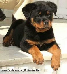 I adore Rotties, they're so sweet!