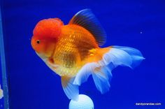 Red Oranda 6.75 inches » DandyOrandas.com