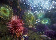 Red Sea Urchin, Purple Sea Urchins, and Sea Anemones